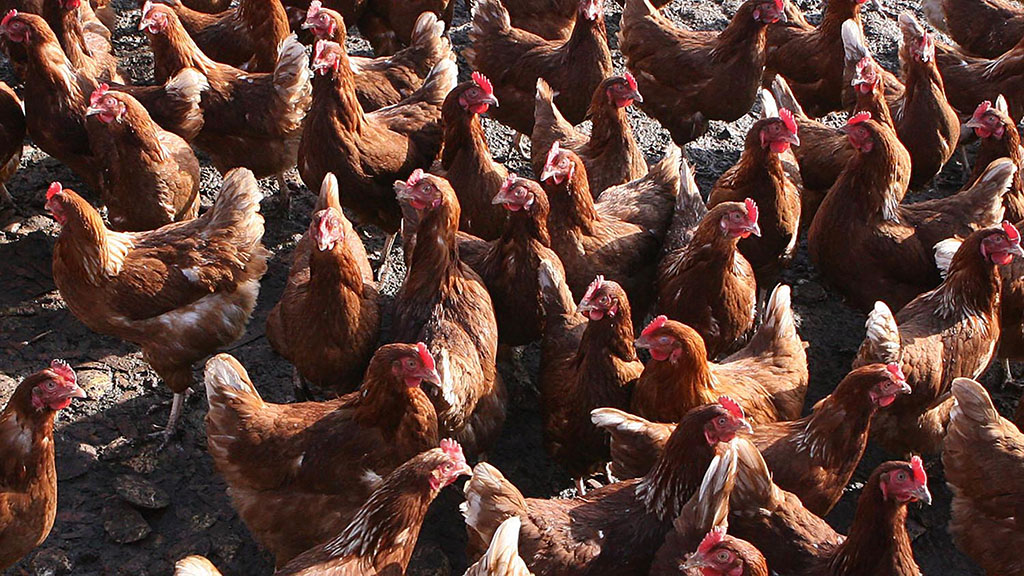 Avian Influenza update: National prevention zone declared