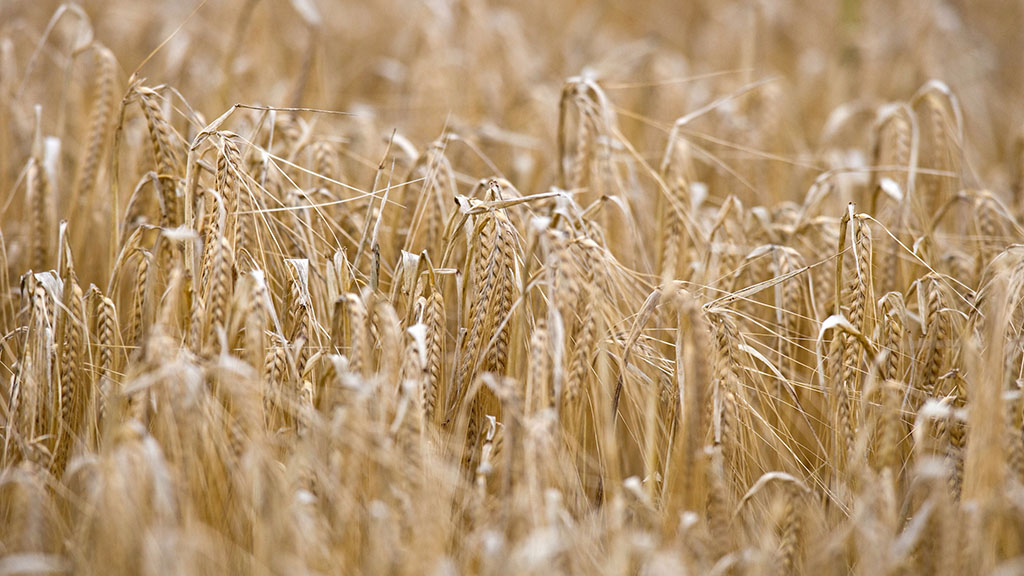 2020/21 Recommended List: Winter barley feed varieties provide increase in yield and quality