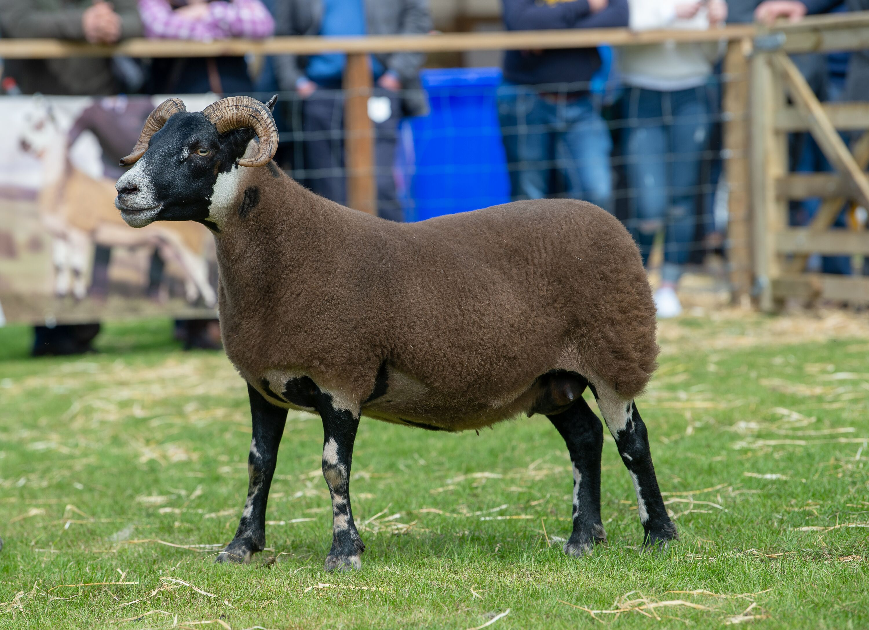 Blackface champion, a ewe from William Ramsay
