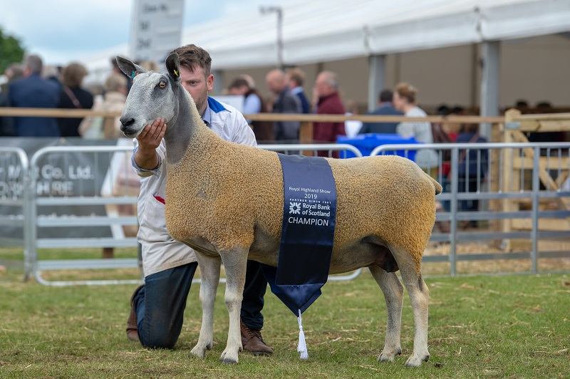 Champion Bluefaced Leicester - traditional - a ewe from Frank Johnson