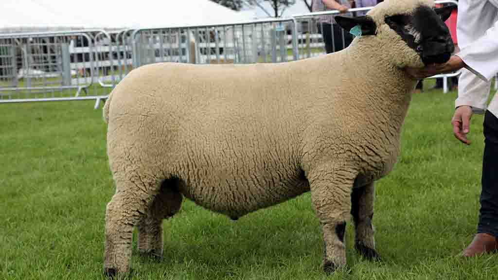 Hampshire Down tops Lincolnshire sheep rings