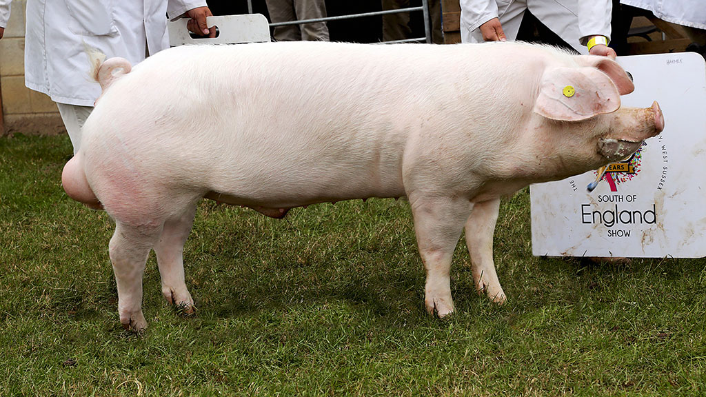 Inter-breed pig champion a Welsh boar from Wakeham-Dawson and Harmer