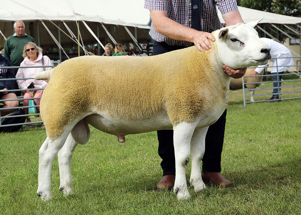 Texel and reserve inter-breed champion a shearling ram from Peter Longdin