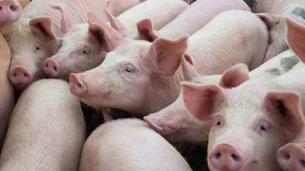 Biosecurity key to keeping African Swine Fever out of the UK's farms