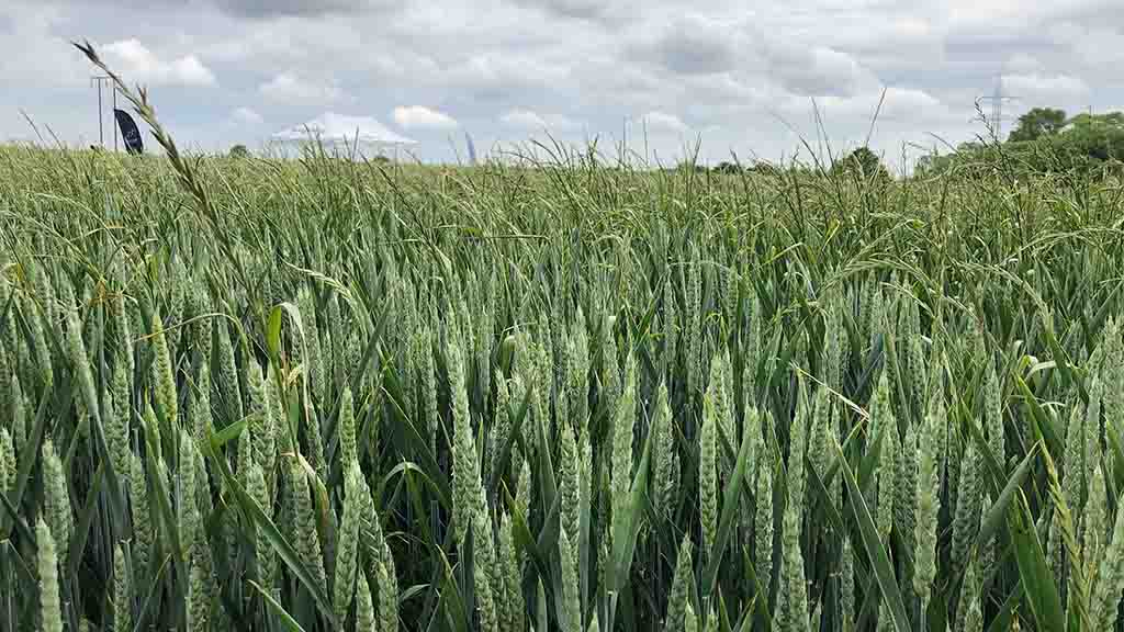 Getting to grips with ryegrass