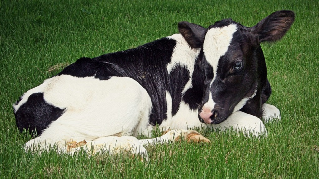 Calf nutrition on dairy farms: Unlocking genetic potential in heifers