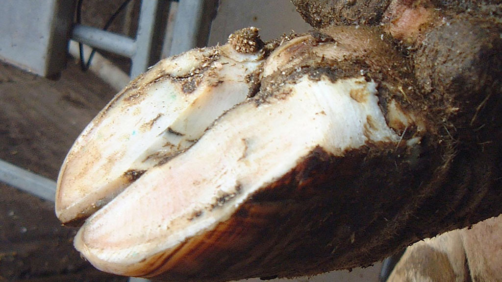 Pain relief has an important role in cattle lameness recovery, study says