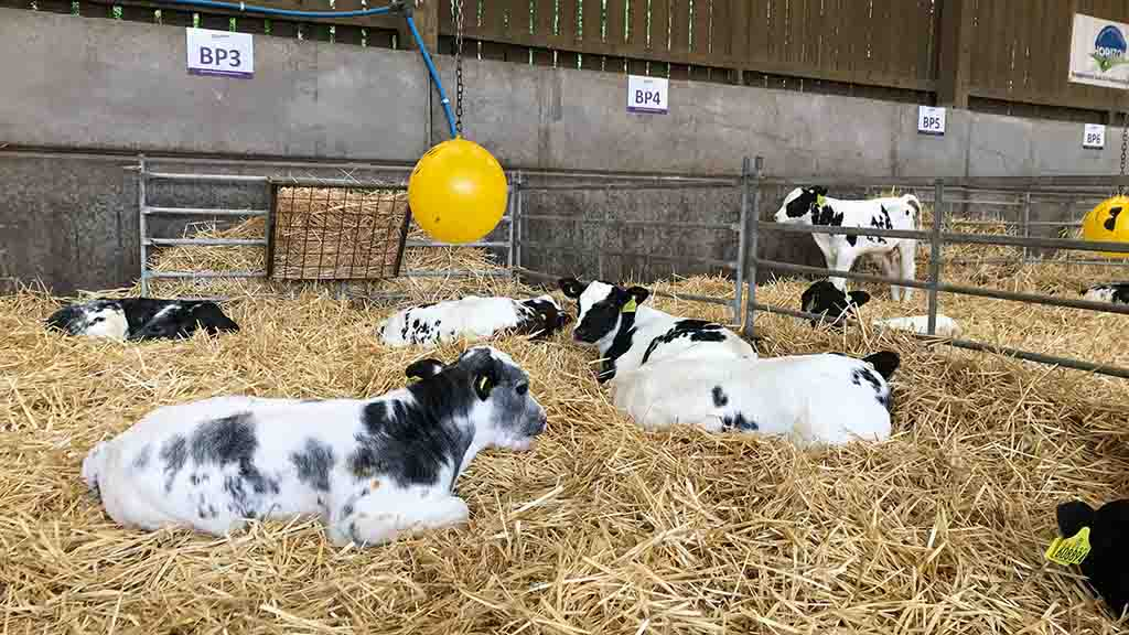 Calves at Tom and Karen Halton's dairy farm in Cheshire.