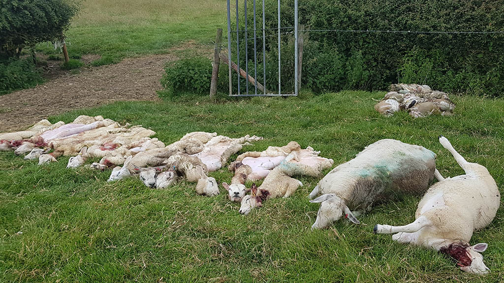 Hampshire man, 40, arrested in relation to illegal sheep butchery