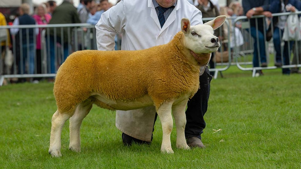 Texel champion from Proctors Farm
