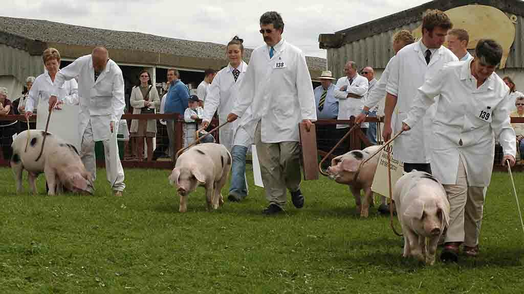 'This is not a decision taken lightly' - no pig classes for Great Yorkshire Show