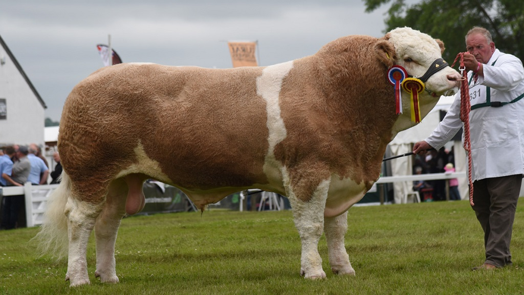 Another win for Simmental bull Heathbrow Important at Great Yorkshire Show