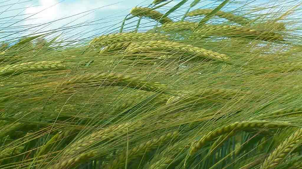 Spring barley yield above five-year average with Scotland standing out