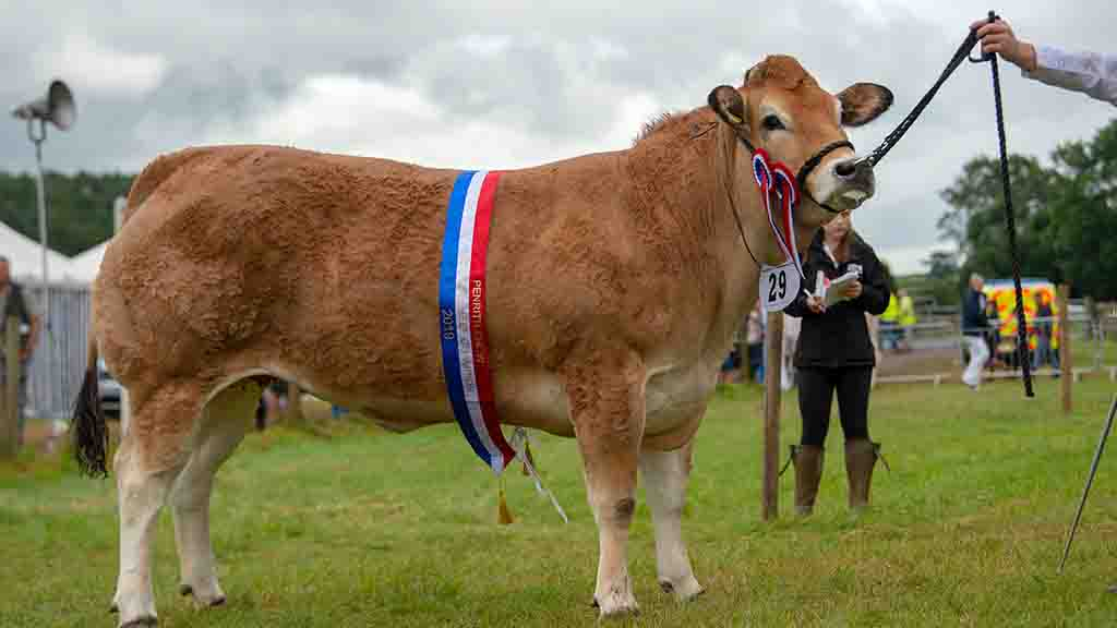 Inter-breed beef and any other native champion, a Parthenais heifer, Killerwick Nova.