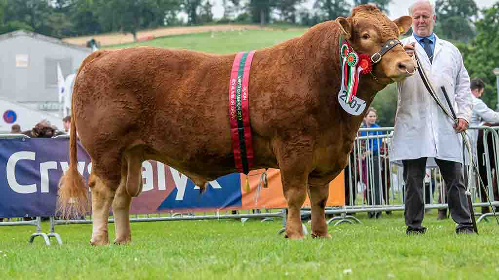 South Devon champion, Grove Brutus 151, from Douglas Scott, Gloucestershire.