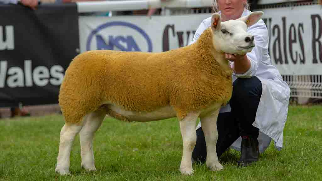 Inter-breed sheep, continental and Texel champion, Procters Cinderella.