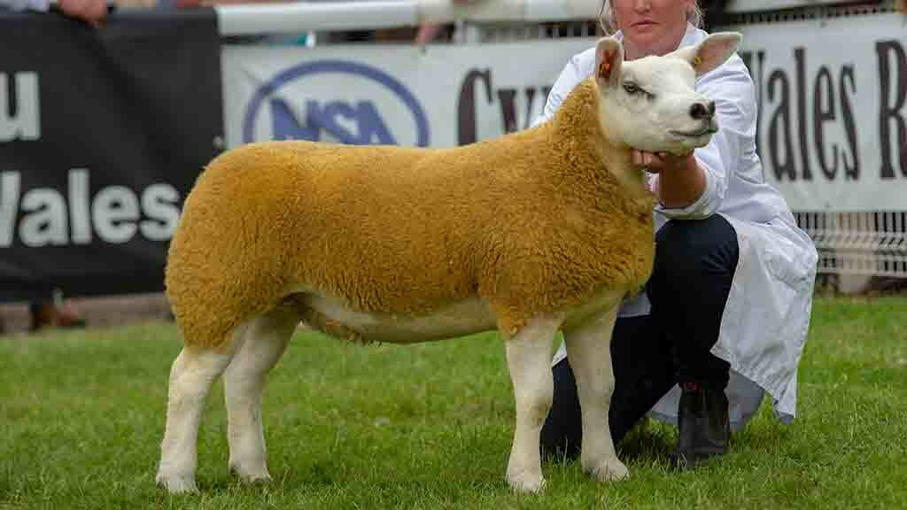 Royal Welsh Show 2019: Cinderella wins in the sheep rings