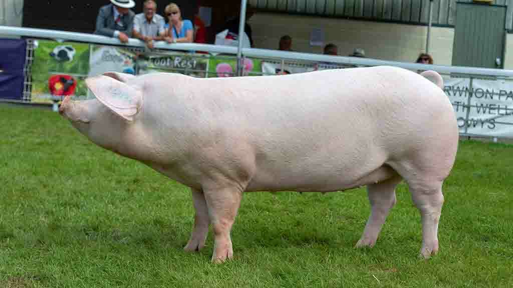Royal Welsh Show 2019: Offham pigs dominate at Royal Welsh