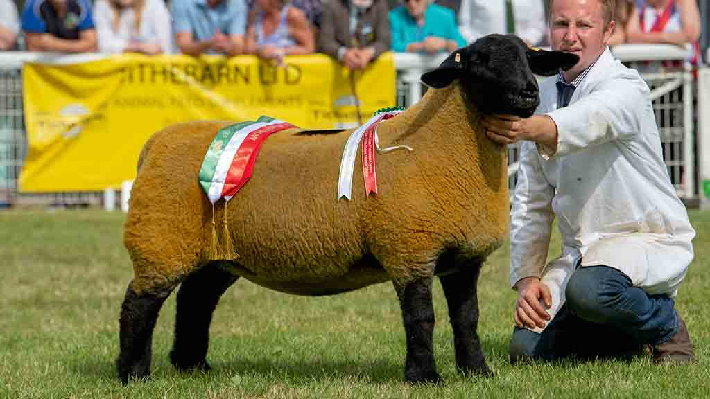Native Lowland and Suffolk champion, a yearling ewe.