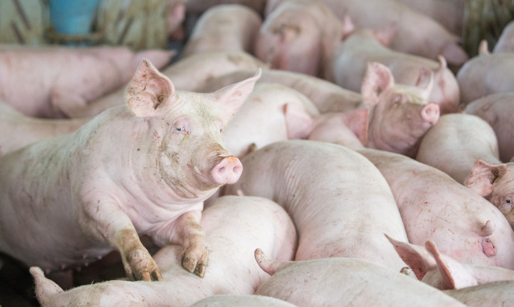 Border campaign launched to help prevent spread of African Swine Fever into UK