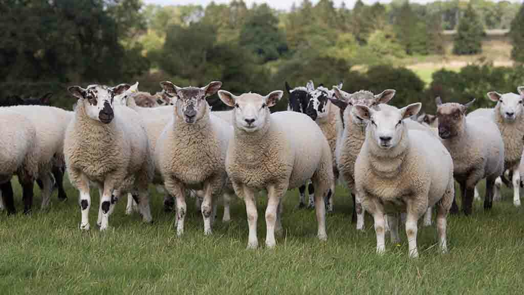 Vaccinate to reduce autumn lamb losses