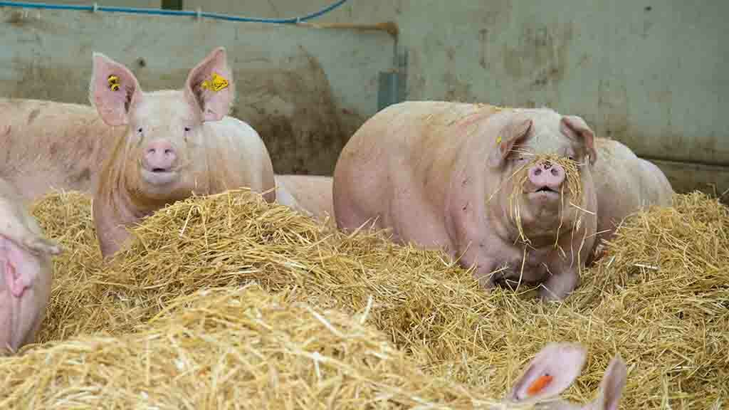 Global Ag View: African Swine Fever will see Chinese imports of pork soar