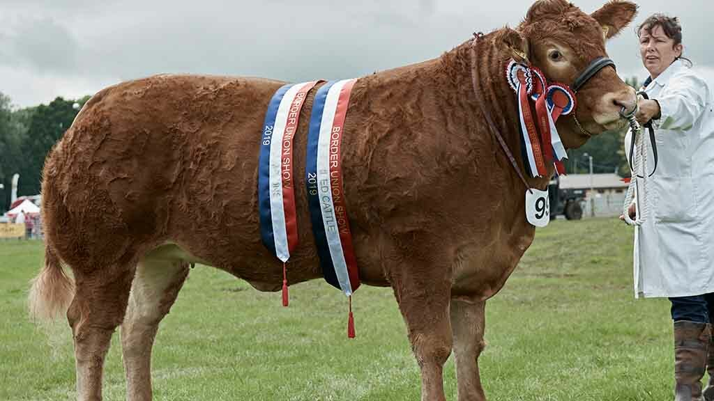 Foxhillfarm Naomi beef supreme and champion in the Scottish Limousin Grand Prix
