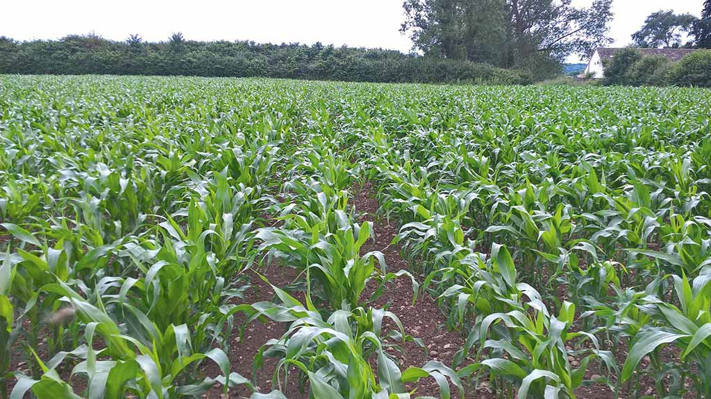 Maize establishment
