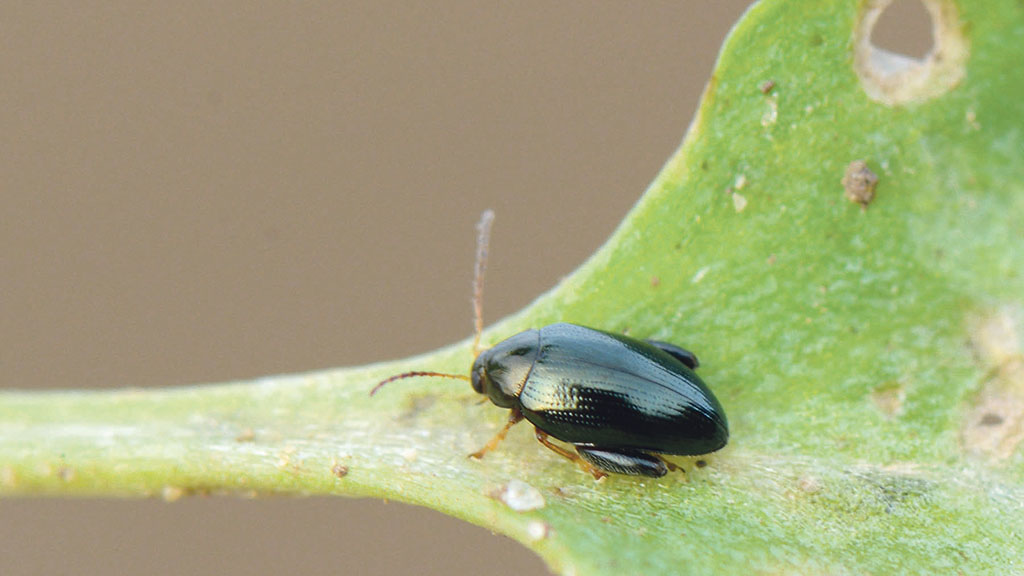 Resistant flea beetle rising and becoming more widespread