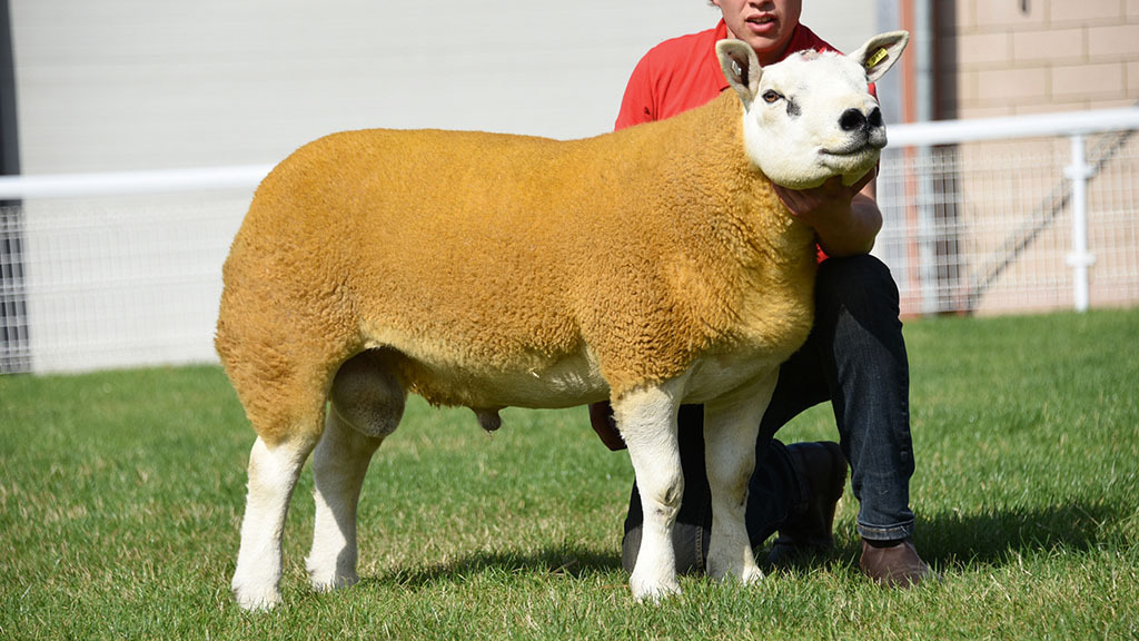 Overall top price and Texel champion, Peachhay Beelzebub, which sold for 1,400gns.