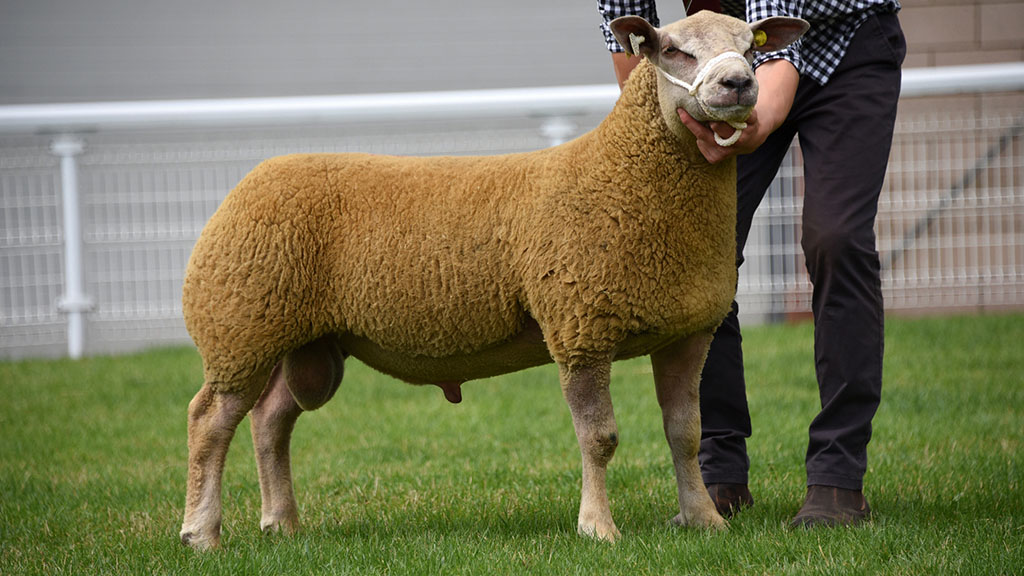 Top price Charollais, a ram lamb from Drefach Farms, which sold for 1,350gns