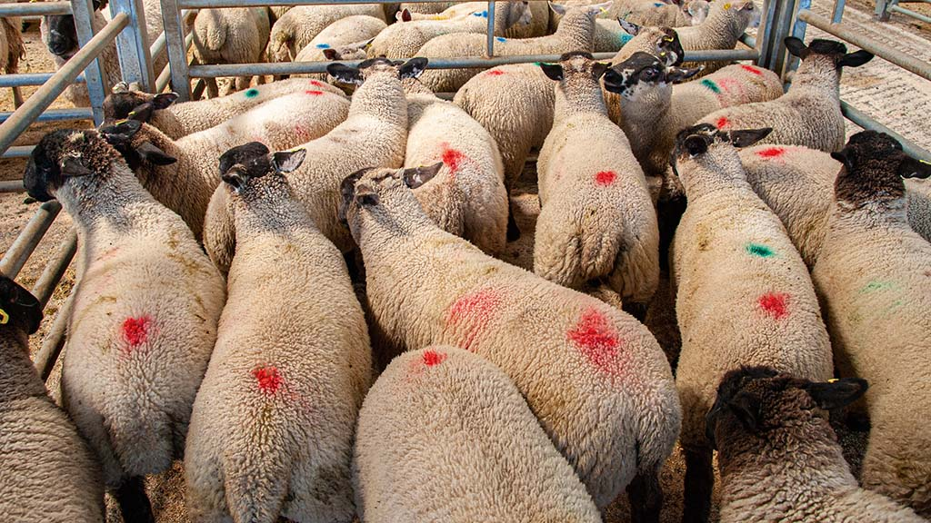 Sheepmeat production and demand up with supplies expected to tighten