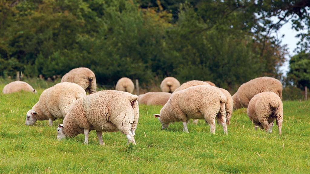 What farmers can do to protect lambs from pasteurellosis this autumn