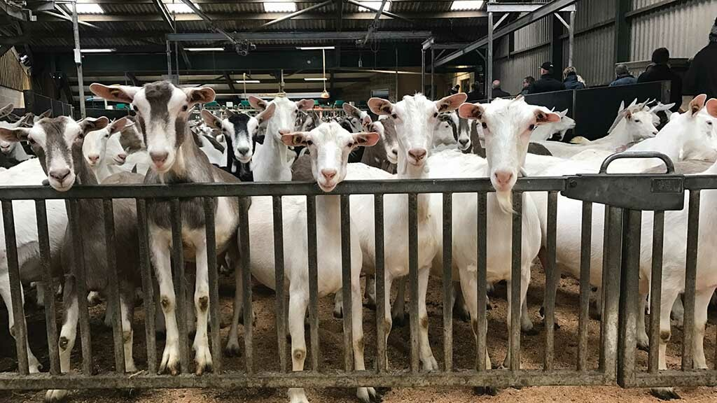 Goat dairy industry warns on no-deal impact as sector at 'critical stage in evolution'