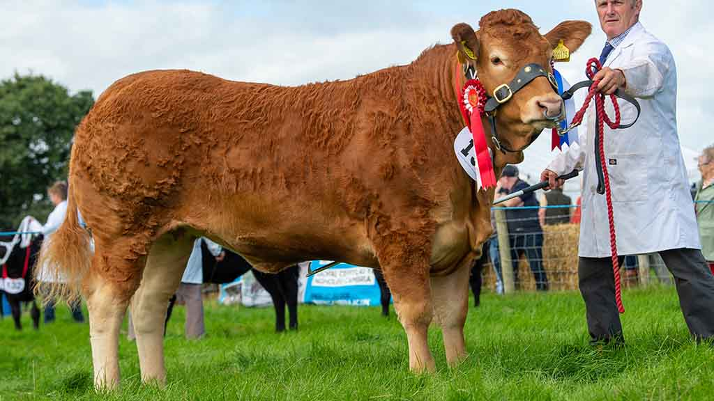 Inter-breed beef and Limousin champion, Garyvaughan Once, from the Lewis family, Welshpool.