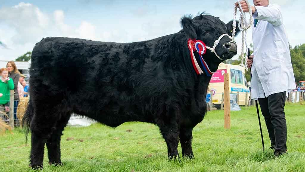 Reserve inter-breed beef and Welsh Black champion, Mynach Gwyneth 58, from A. and R.C. Williams.