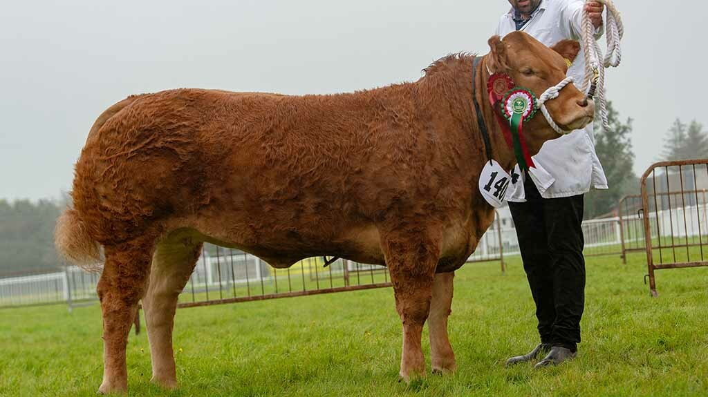 Anglesey inter-breed win for commercial heifer, One and Only