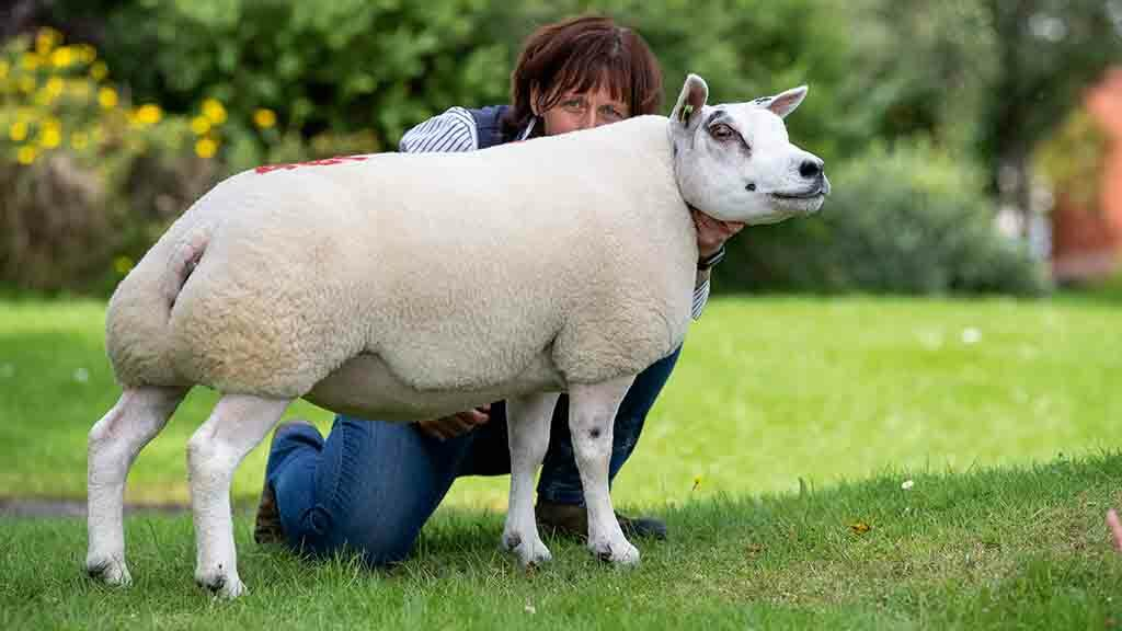 Pentland Dixie made 5,000gns from Graham and Fiona Burke, Brechin.