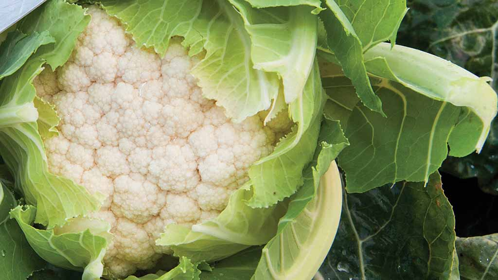 UK faces 'cauliflower crisis' as growers lose brassica crops due to weather