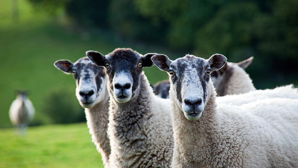 Sheep special: Know your flock's Johne's disease status