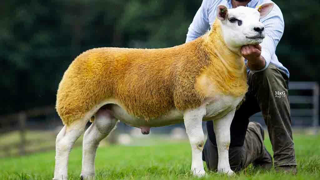 Usk ValeCheeky Charlie, from Willy Davis, Pontypool, which sold for 36,000gns.