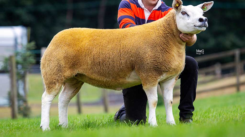 Rhaeadr gimmer leads Lanark female trade at 9,000gns