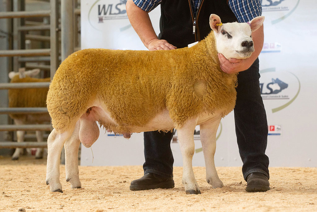 Ynystoddeb Coron Aur, a ram lamb from Euros Jones and family, Llangadog, which sold for 9,000gns.