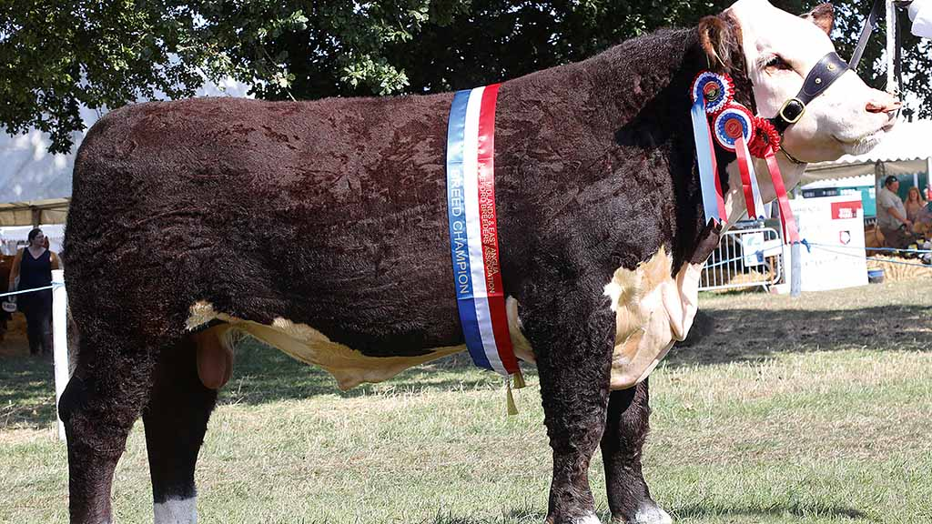 Hereford bull takes top honours at Bucks County