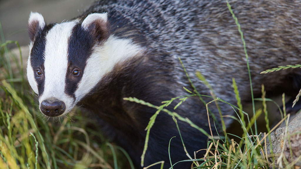 Farmers 'rightly angry' about Government decision to reject Derbyshire badger cull