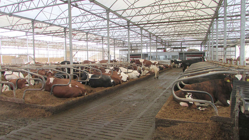 How greenhouse-style sheds for dairy cows are creating positive results