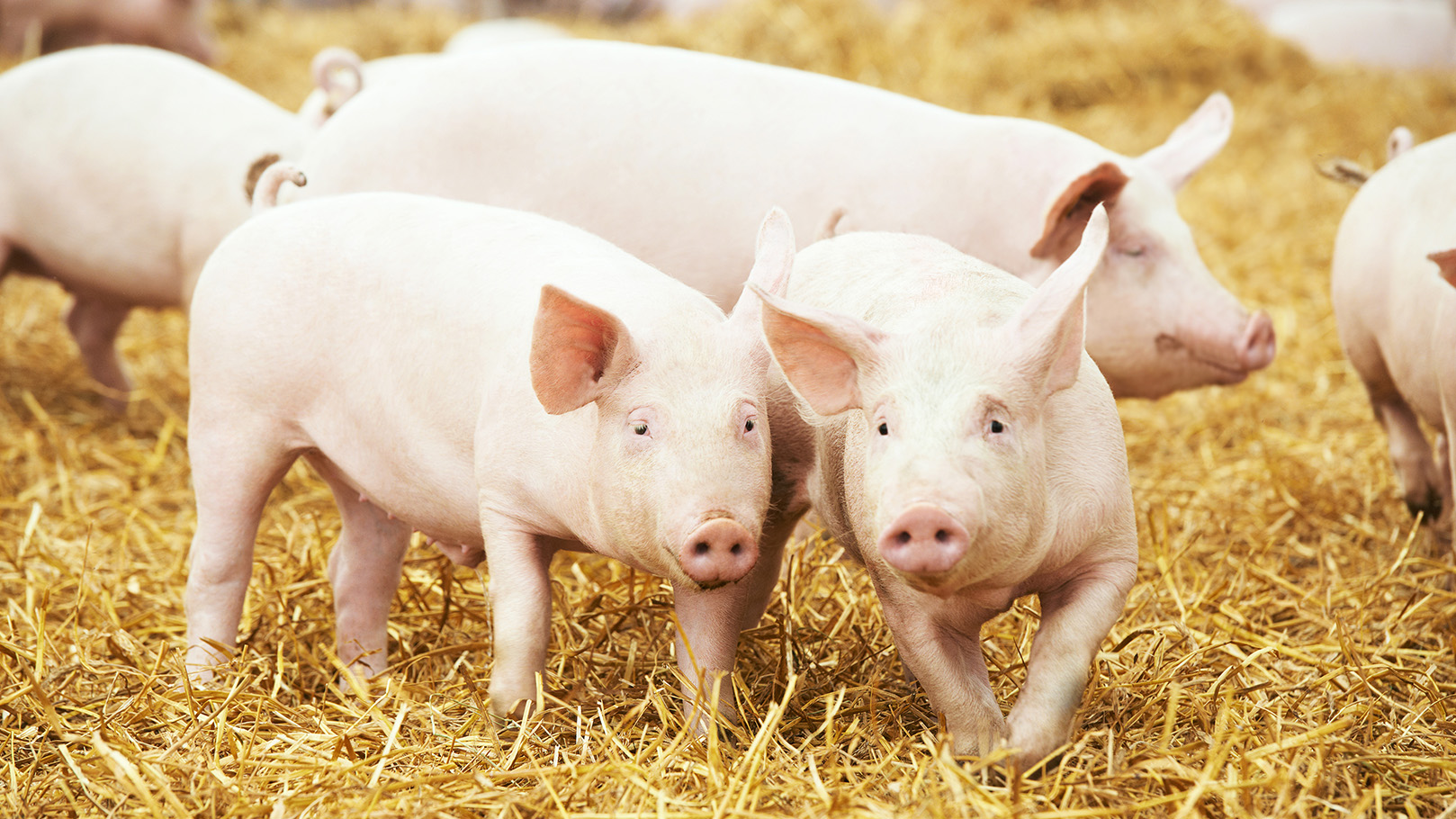 Pork market boosted by export growth