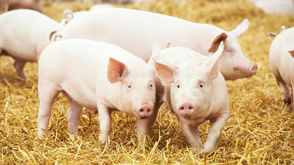 Scots pork producers on firm footing