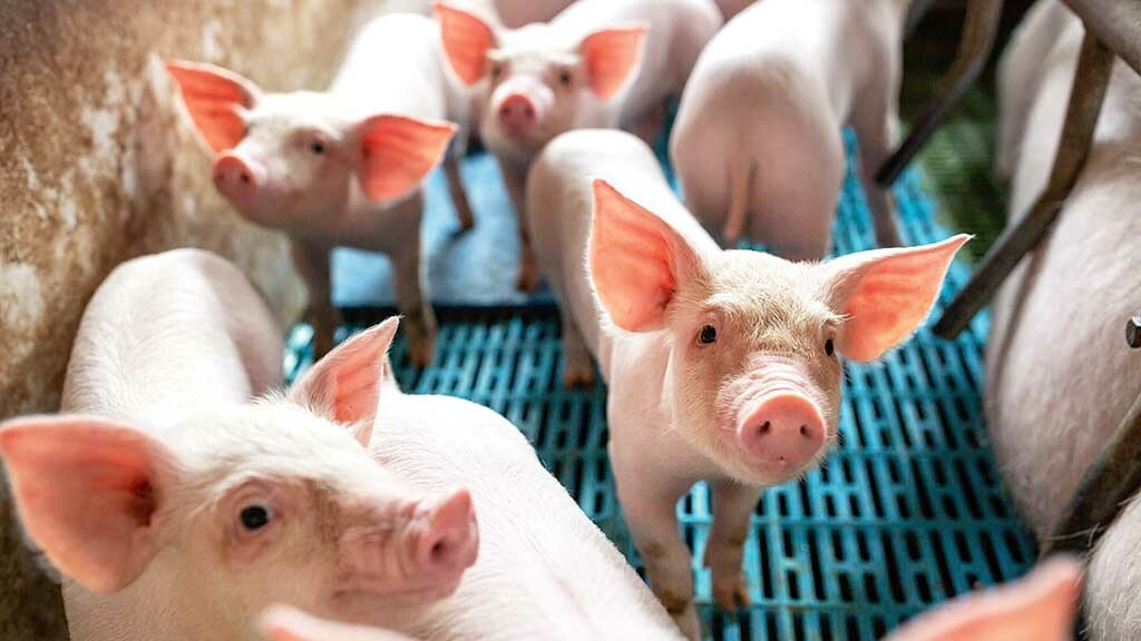 Global trade lifts pig prices as China's ASF outbreak causes shortages
