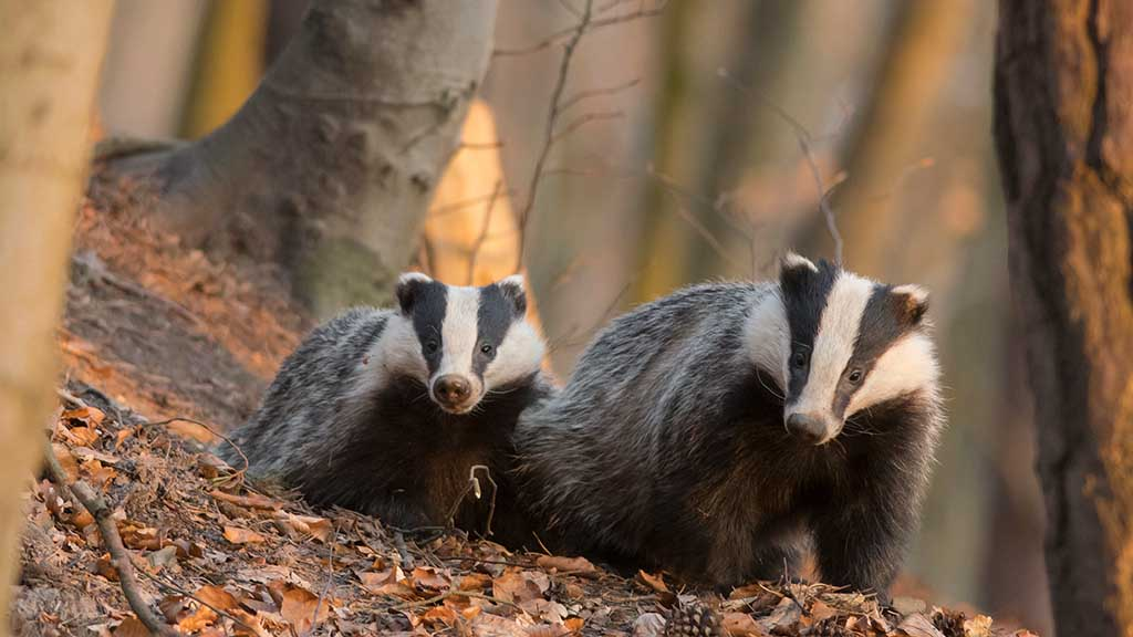 Changing tack for England's badger cull strategy?